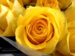 The Yellow Rose by guidurso