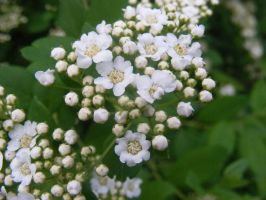 baby's breath for Beverly by BlueIvyViolet