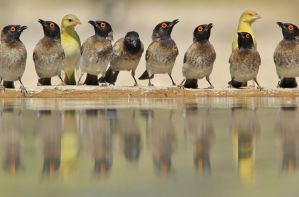 Red Eyed Bulbul - Lined up Colors by LivingWild