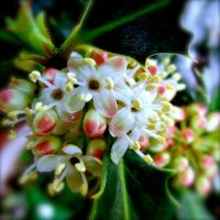 Holly Flowers by KateHodges