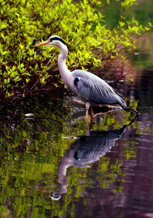 Grey Heron by Crannogphotographic