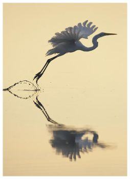 Egret Flight by Ian-Plant