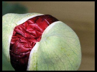 Papaver in knop I by 44Vevina44