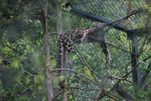 Clouded Leopard by NicamShilova
