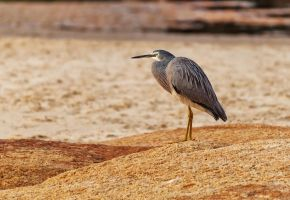 White faced heron by TarJakArt