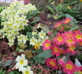 Primroses by Helens-Serendipity
