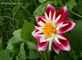 Dahlia Flower II by BreeSpawn