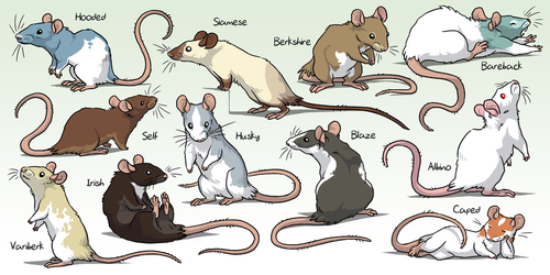 Fancy Rats by Zerochan923600