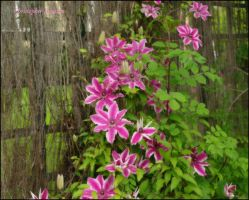 Clematis by squareprismish