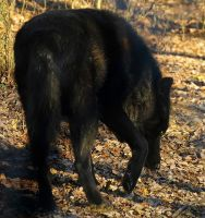 Timber Wolf Stock 10 by HOTNStock