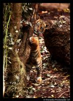 Baby Tiger: Hug Tree by TVD-Photography