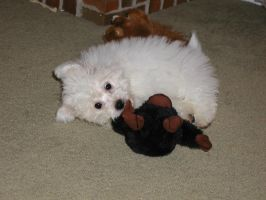 Bichon puppy 2 color by timeandconfusion