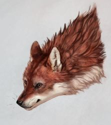 Fox-wolf sketch by Noctualis