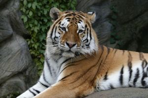 Amur by Tigerlover4