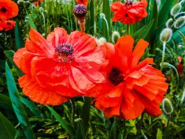 Poppies in the Rain by JamesDarrow