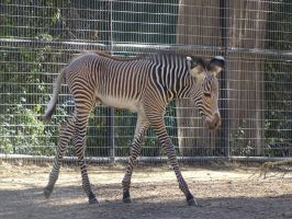 Baby Zebra by shinigamisgem