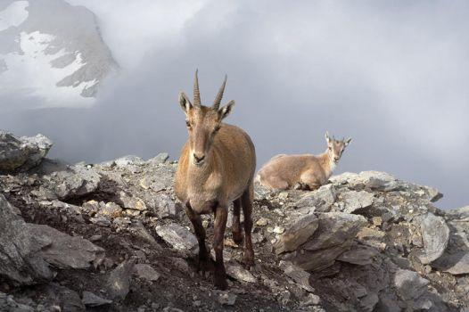 Ibexes at 3.538 meters by RobertoBertero