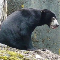 Sun Bear 001 by Elluka-brendmer