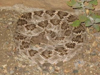 Herping - Western Diamond-Backed Rattlesnake 02 by R-Eventide