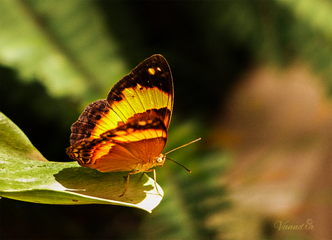 Butterfly Drying her Wings by vanndra