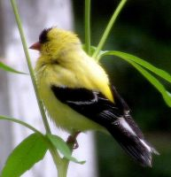 American Goldfinch 04 by JocelyneR