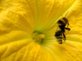 .stock: bee with no wings. by guavon-stock