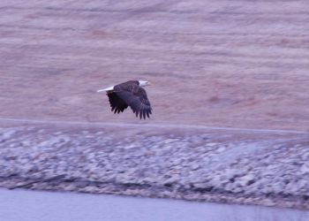 Chalco Bald Eagle by Littlelion225