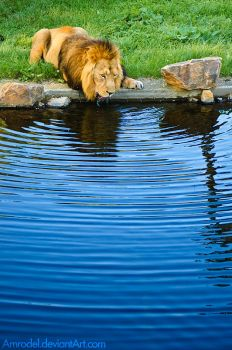 Thirsty Lion II by amrodel