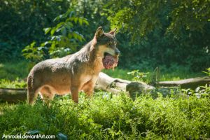 Eurasian Wolf by amrodel
