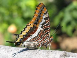 Butterfly by MasterLudus