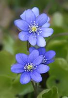Hepatica nobilis by nordfold