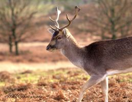 Red Deer by ady77