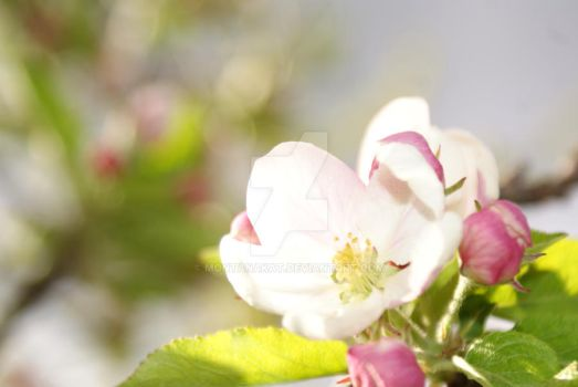 Flowers on the apple tree by MontanaKat