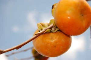 persimmon 2 by FireFlyGal