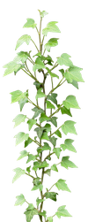 Ivy png by gd08