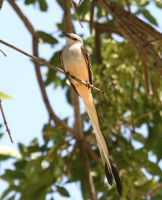Scissor-tailed Flycatcher II by Mischi3vo