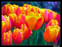 Tulips by carterr