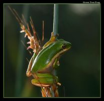 Green Tree Frog Again by boron