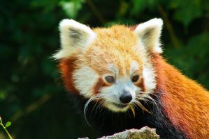 Red Panda by megscottage