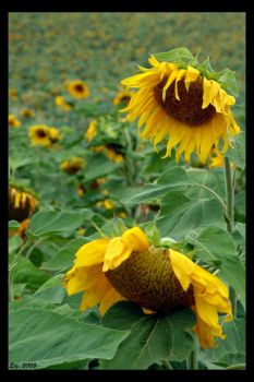 sunflowers 1 by Etzus