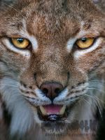 Within the eye of the Lynx by darkSoul4Life