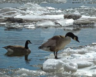 Geese and Cold Feet by foxvox