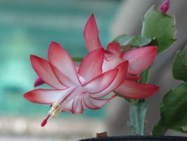 Christmas Cactus by Otoff