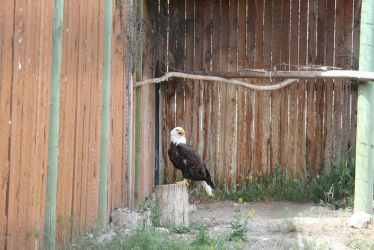 Bald Eagle Stock 01 - 2014 by SimplyBackgrounds