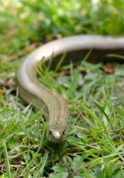 Slowworm Portrait by DrWheelieMobile