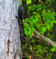 Black Squirrel by photohooks