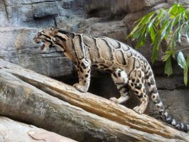 Clouded Leopard X by Jisei