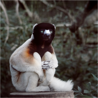 Crowned Sifaka. by RowennaCox