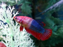 The Amazing Color-Changing Betta by UltraRodimus