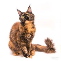 Maine-coon Diva voice10 by Kelshray-photo